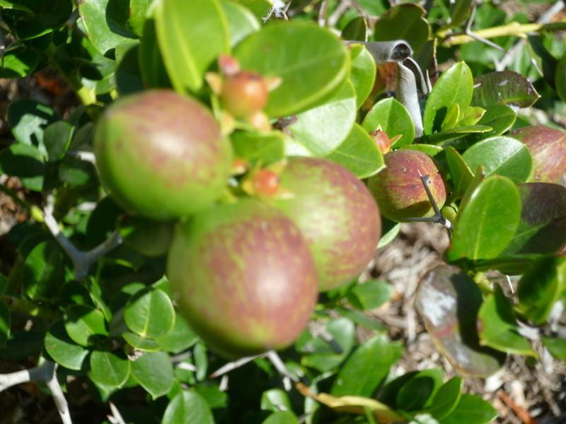 Baies et fruits d'hiver P1080233