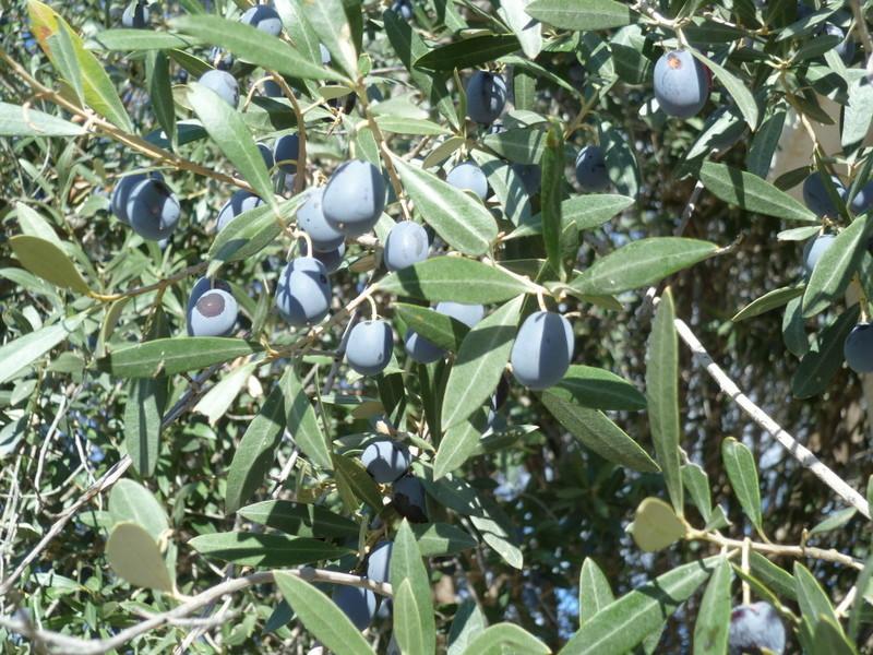 Baies et fruits d'hiver P1080236
