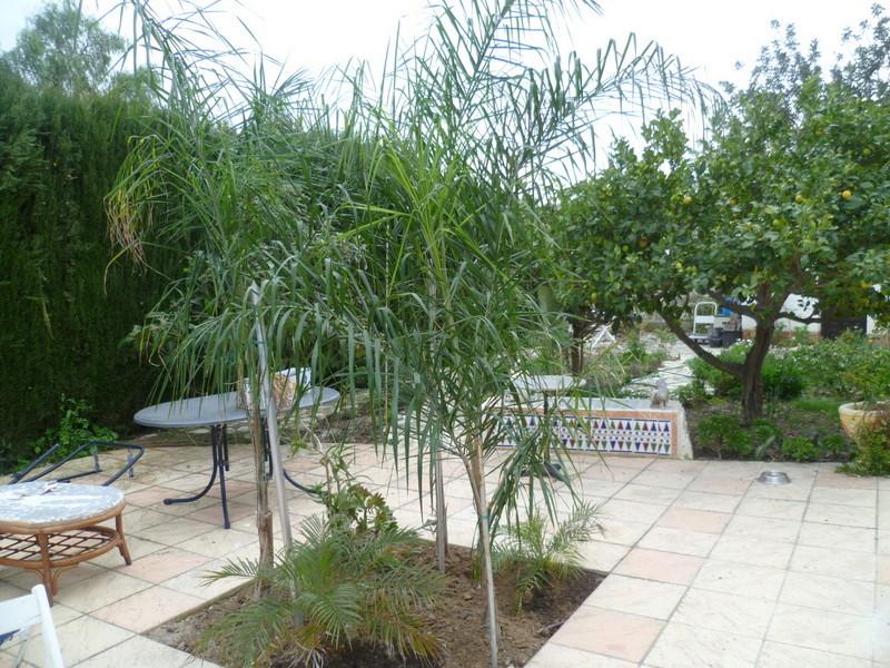 Syagrus romanzoffiana - palmier reine P1080321