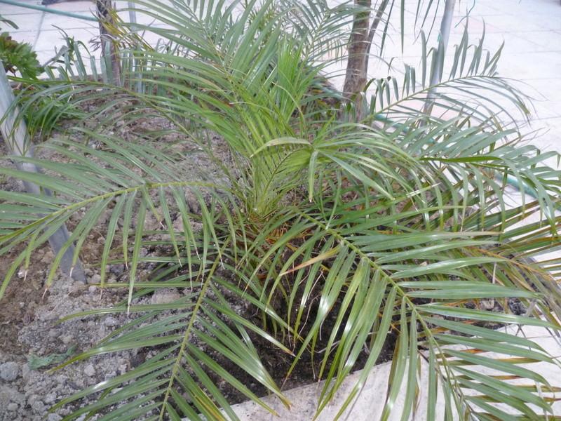 Phoenix roebelenii - palmier nain P1080322