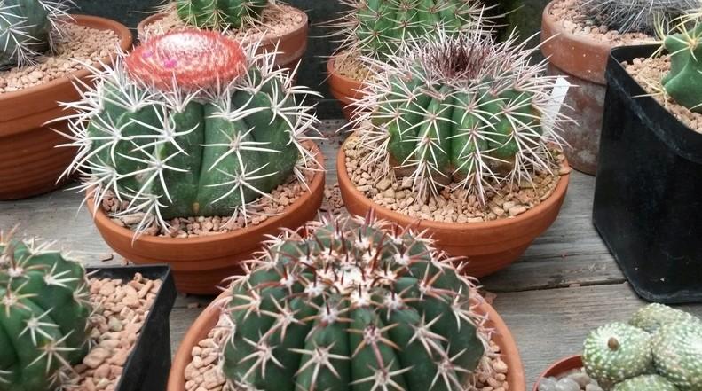 Melocactus schatzlii und Melocactus disciformis  212