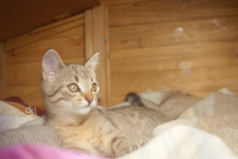 adoptée  Thelma chatte tigrée et sa chatonne 04/06 Chaton28