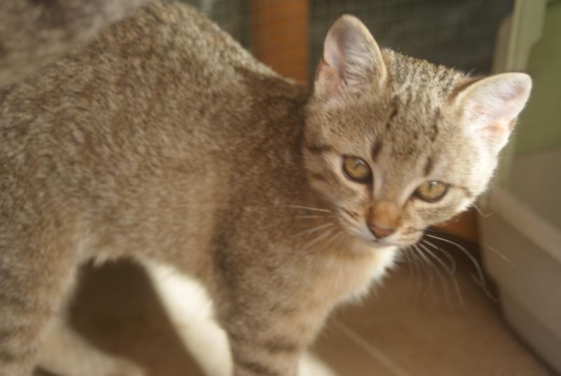 adoptée  Thelma chatte tigrée et sa chatonne 04/06 Chaton29