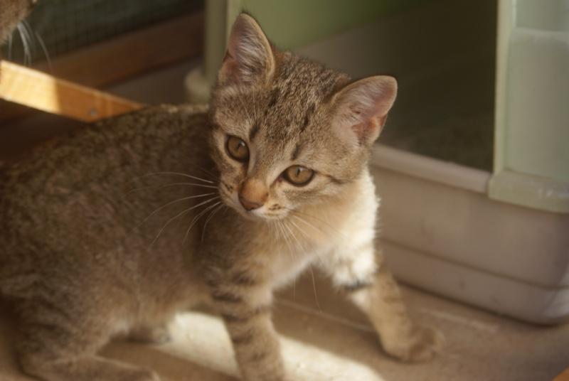 adoptée  Thelma chatte tigrée et sa chatonne 04/06 Chaton30