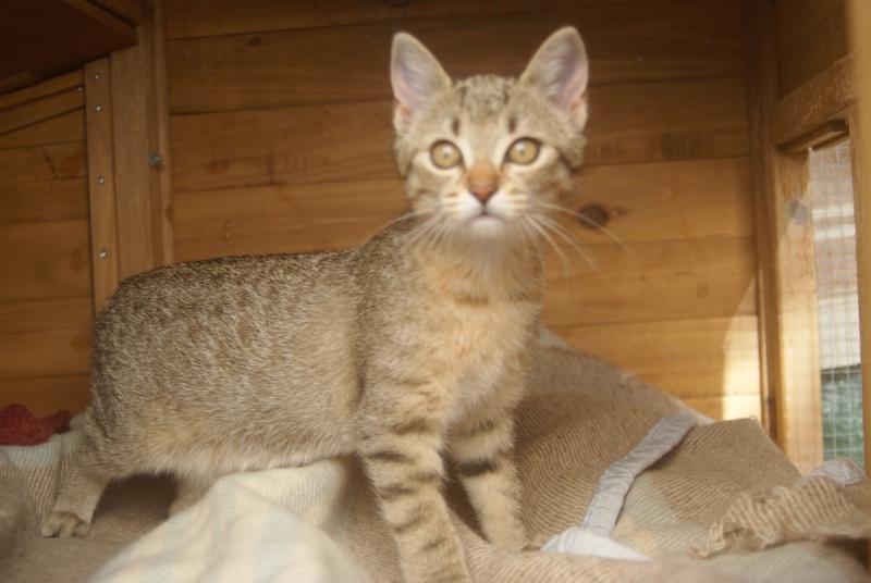 adoptée  Thelma chatte tigrée et sa chatonne 04/06 Chaton32