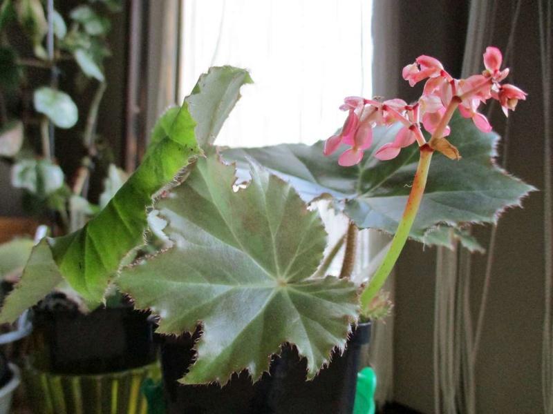 'ricinifolia' fleurit Ricini10