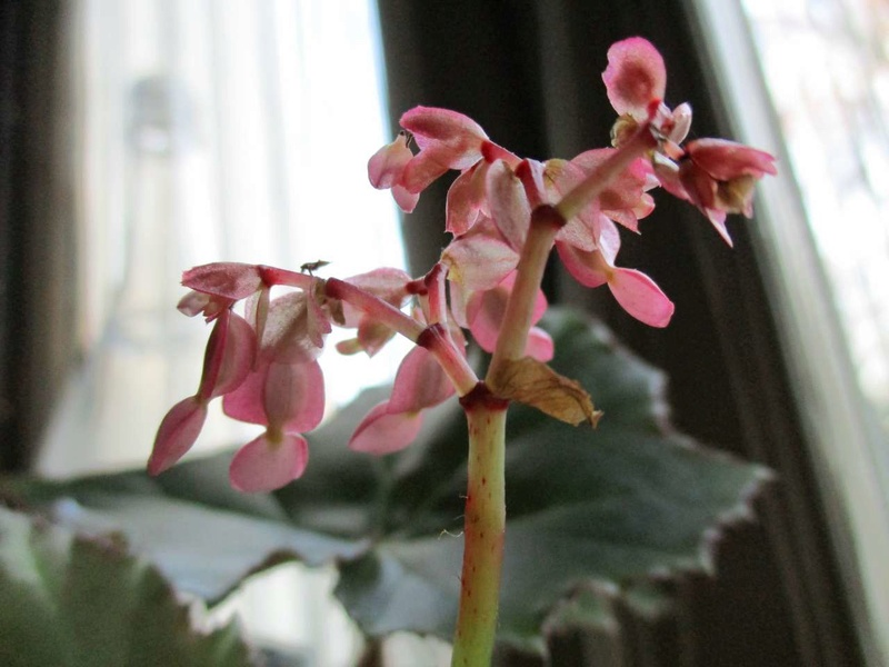 'ricinifolia' fleurit Ricini11