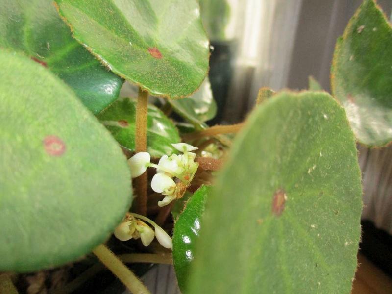 'ricinifolia' fleurit Ricini13