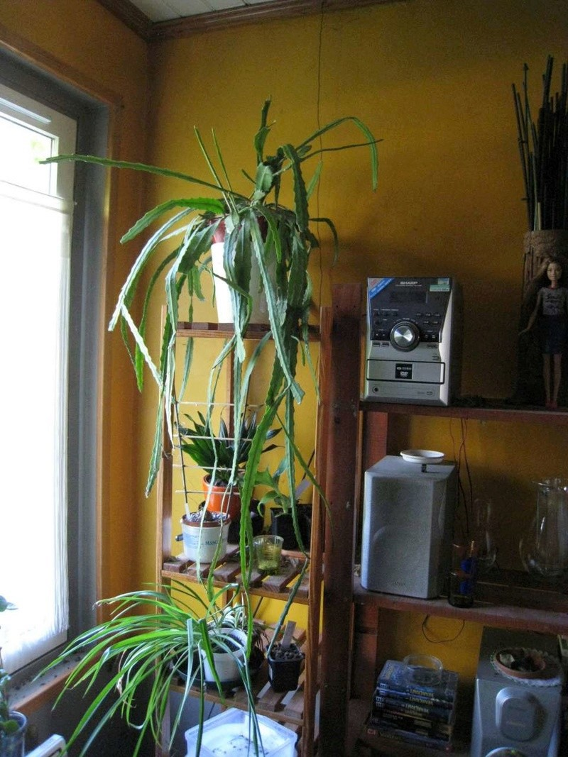 epiphyllum Ypiphy11