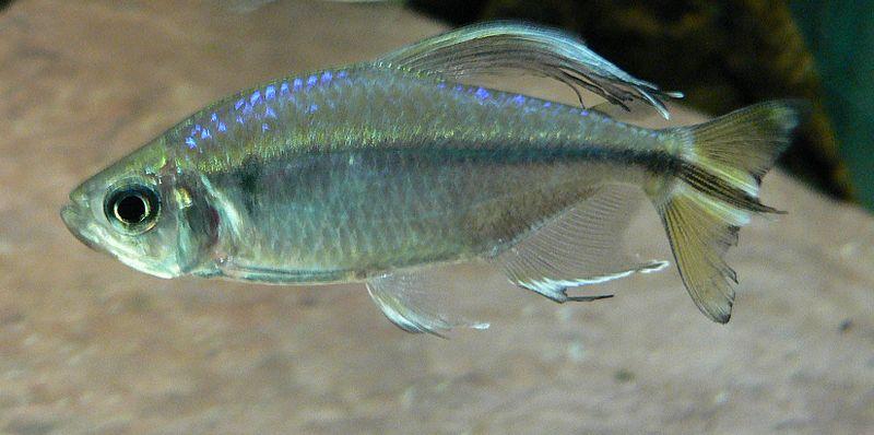 Fiches des poissons du quiz  Alesto11