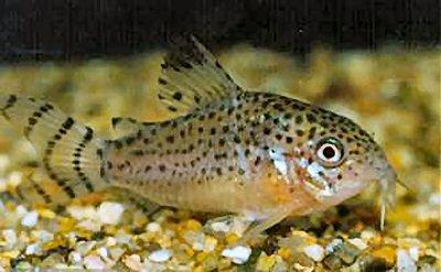 Fiches des poissons du quiz  Corydo11