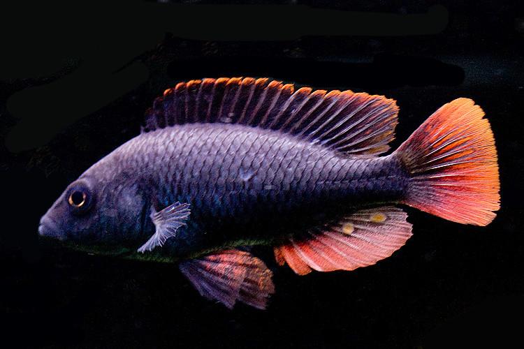 Fiches des poissons du quiz  Haploc10