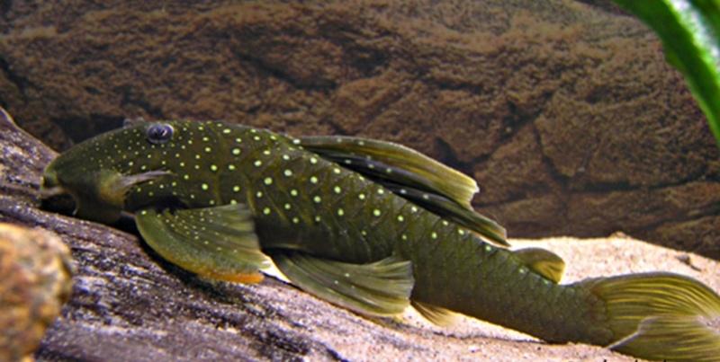 Fiches des poissons du quiz  Hemian10