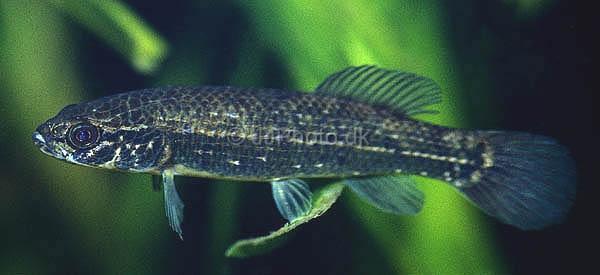 Fiches des poissons du quiz  Umbra_10