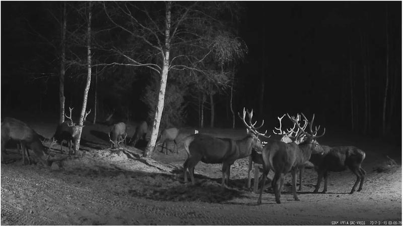 Red Deer Cam (Saarema Island)  - Page 32 Full10