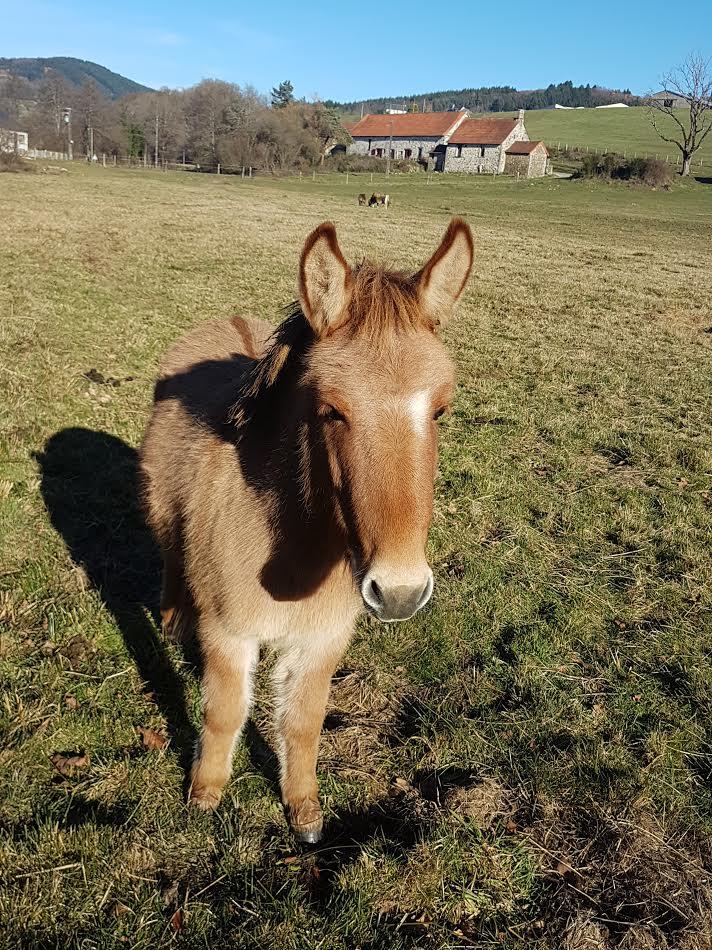 DIABLOTINE - ONC Mule née en 2014 - adoptée en juin 2016 par Amélie 312