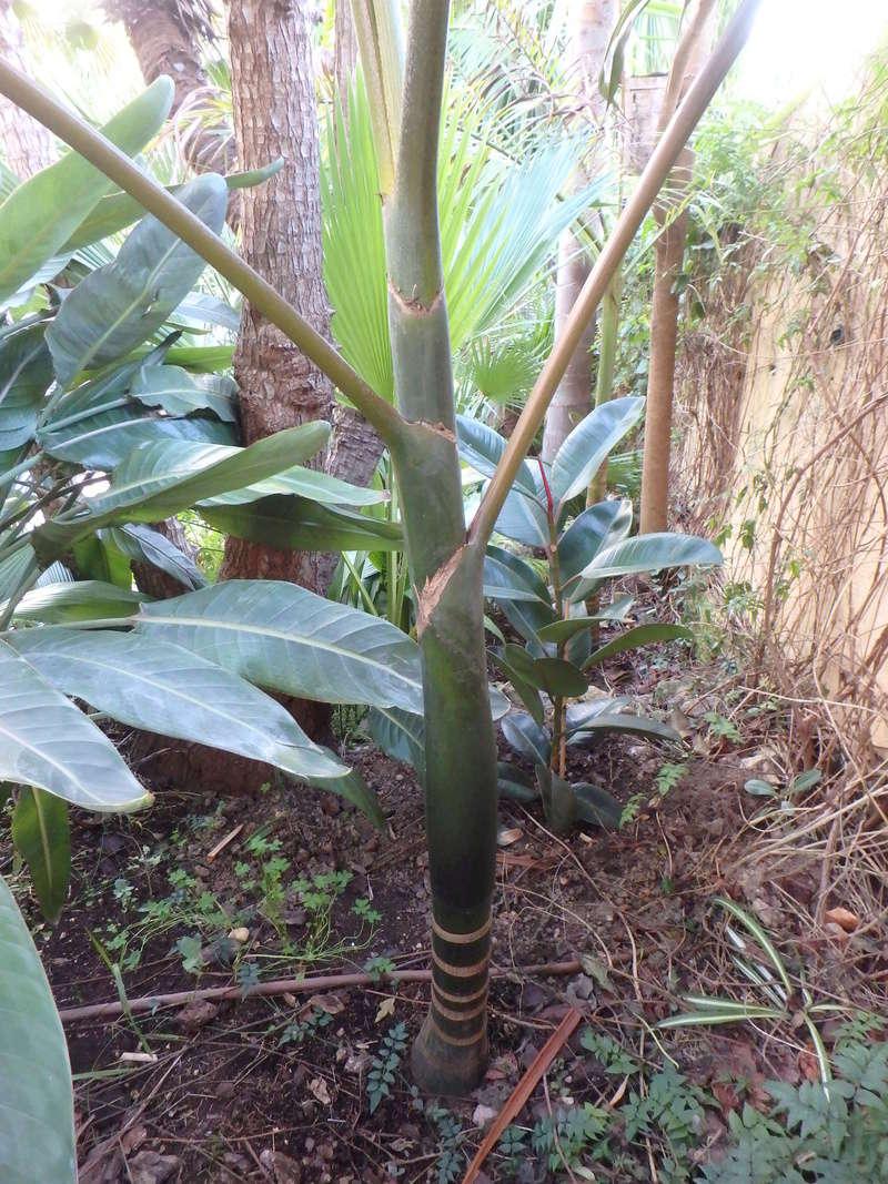 Chambeyronia macrocarpa 3_12_211