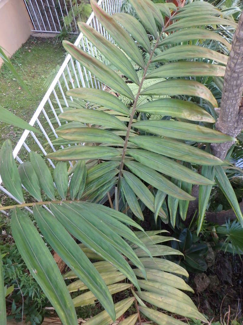 Chambeyronia macrocarpa 3_dec_10