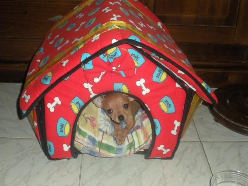 ecco la mia piccola sheila...la mia chihuahua Dscn1110