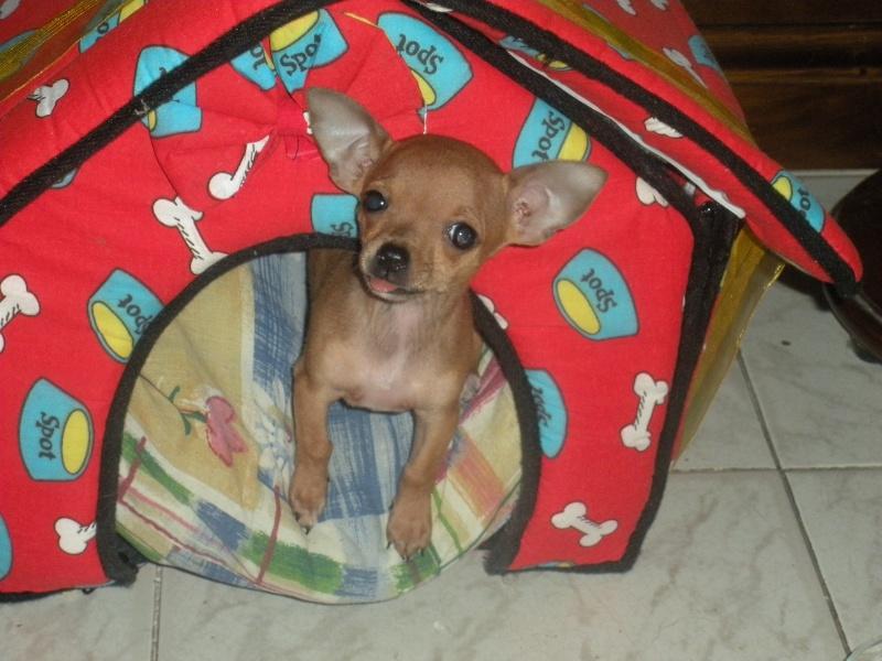 ecco la mia piccola sheila...la mia chihuahua Dscn1111