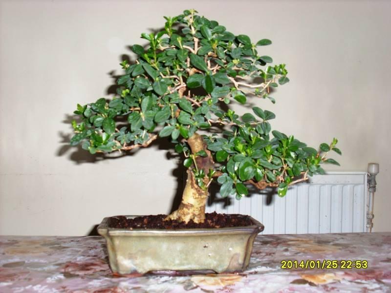 Atelier bonsai Algerie  10264810