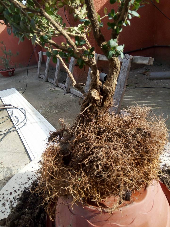 Rempotage Buis de jardinerie  Buis610