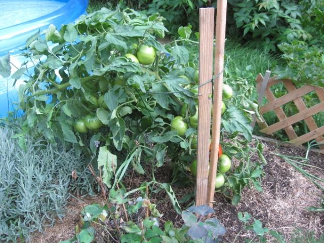 Variétés de tomates et gout... Img_2415