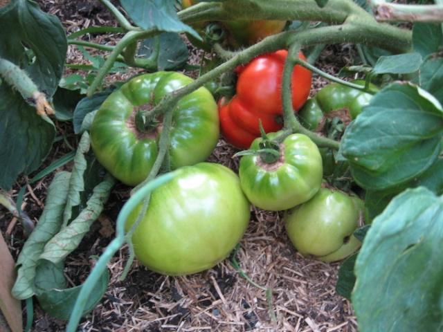 Variétés de tomates et gout... Img_2416