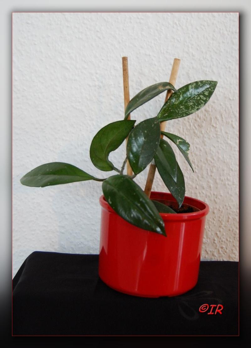 Hoya carnosa Hoja_210