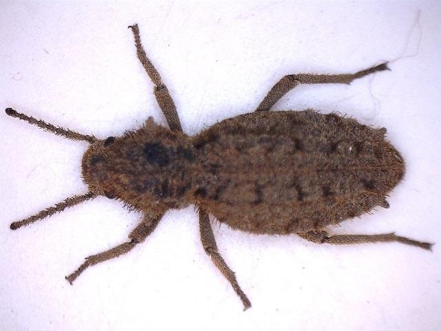 [Vieta senegalensis] curieux coléoptère sénégalais 16122810