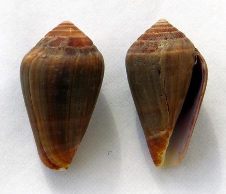Conus (Lautoconus) unifasciatus Kiener, L.C., 1845 Img_0112