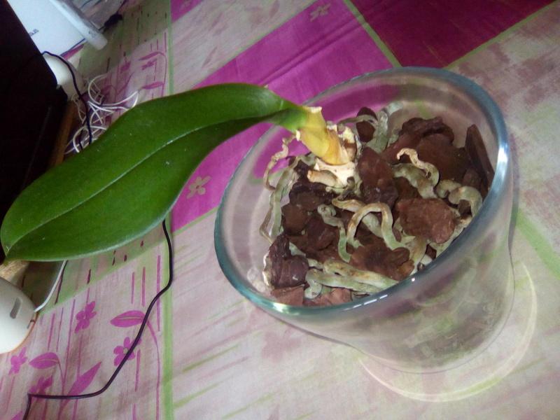 Orchidée dont les feuilles fanent...  Img_2011