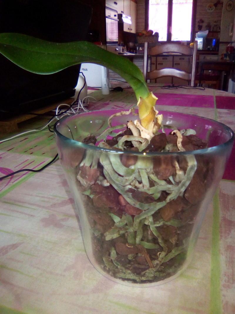 Orchidée dont les feuilles fanent...  Img_2012