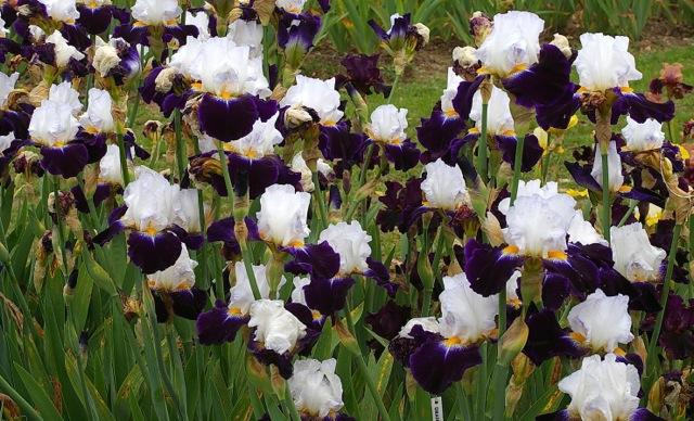 Deux iris Cayeux nominés Noctam10
