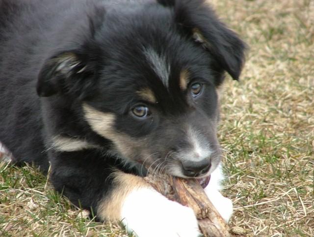 Quelqu'un a-t-il des chiens issus du Mont Kerchouan? - Page 2 Dscf3318