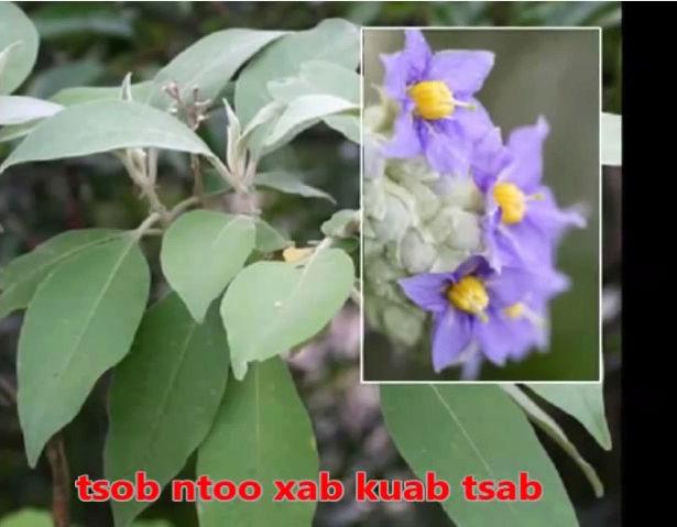 Tshuaj NTSUAB - Page 3 10010