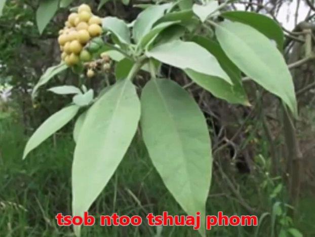 Tshuaj NTSUAB - Page 3 10210