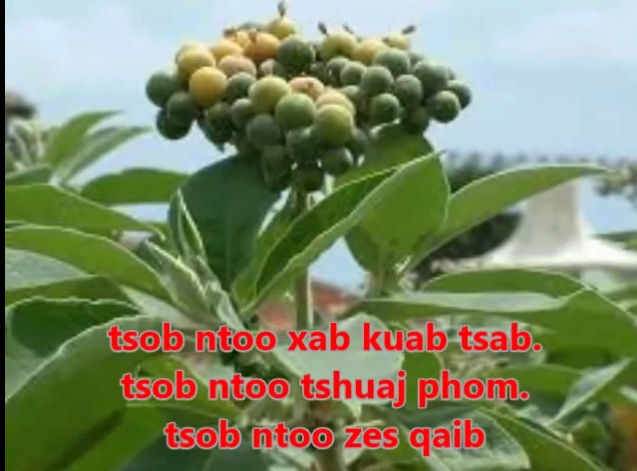 Tshuaj NTSUAB - Page 3 10510