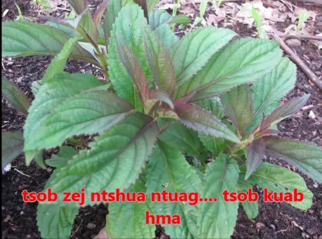 Tshuaj NTSUAB - Page 3 10610