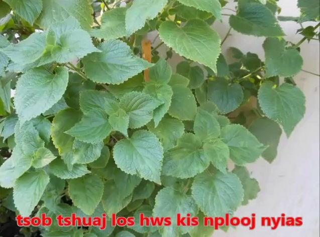 Tshuaj NTSUAB - Page 3 10710