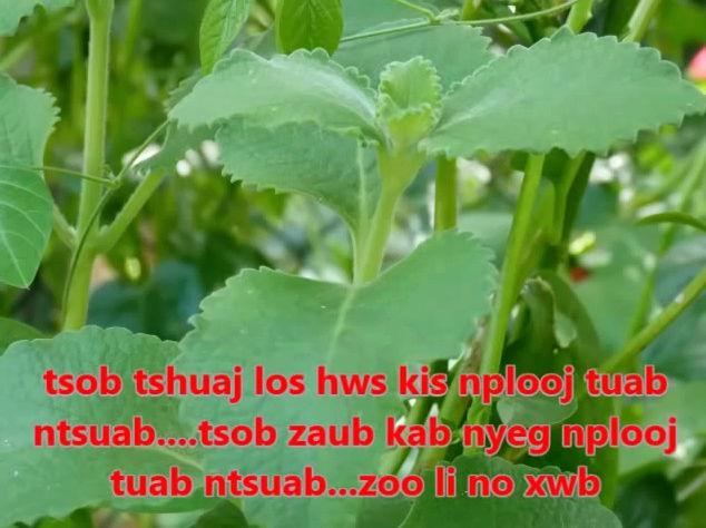 Tshuaj NTSUAB - Page 3 10810