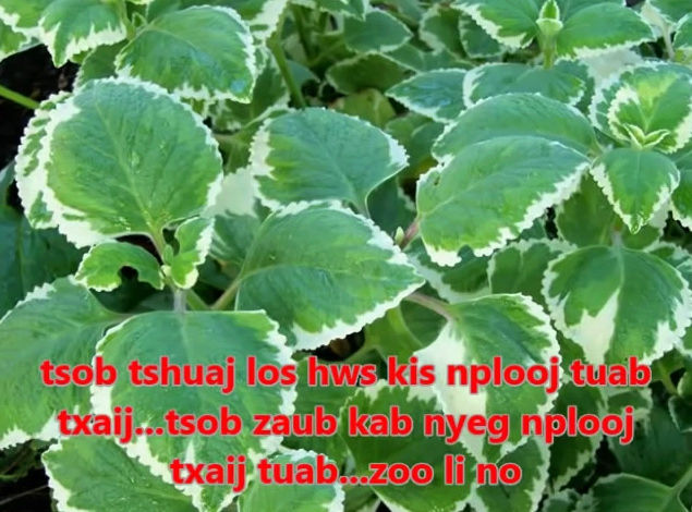 Tshuaj NTSUAB - Page 3 10910