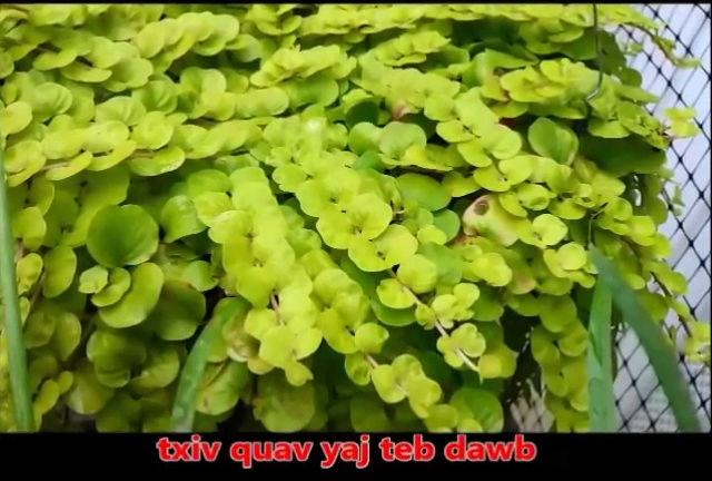 Tshuaj NTSUAB - Page 3 12210