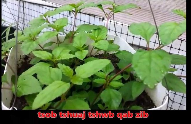 Tshuaj NTSUAB - Page 3 13010
