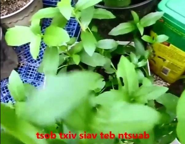 Tshuaj NTSUAB - Page 4 16110