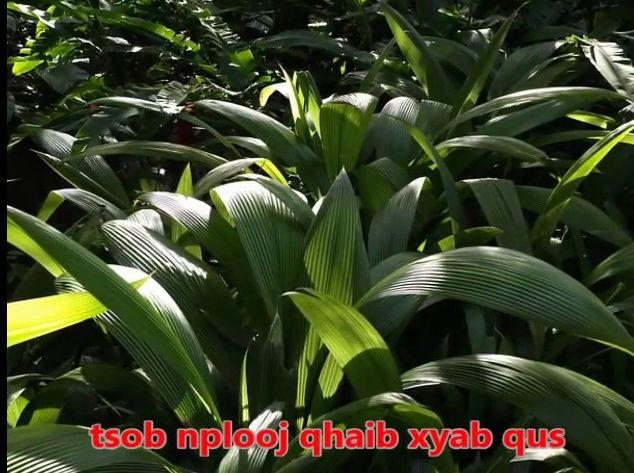 Tshuaj NTSUAB - Page 3 1710