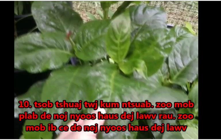Tshuaj NTSUAB - Page 4 20010