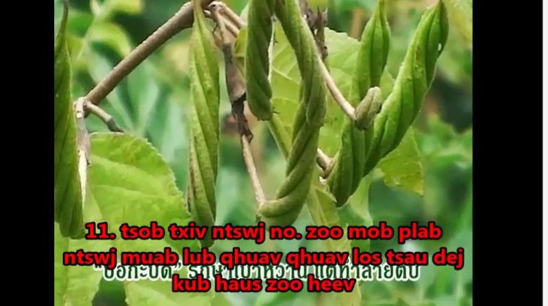 Tshuaj NTSUAB - Page 4 20110