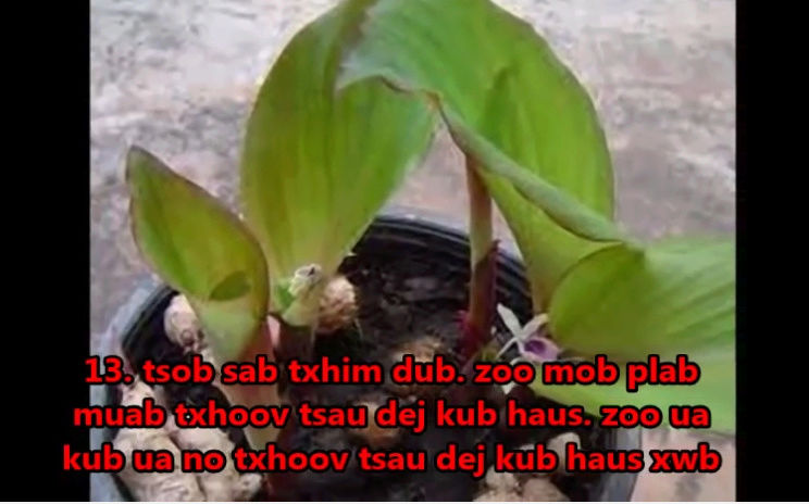 Tshuaj NTSUAB - Page 4 20310
