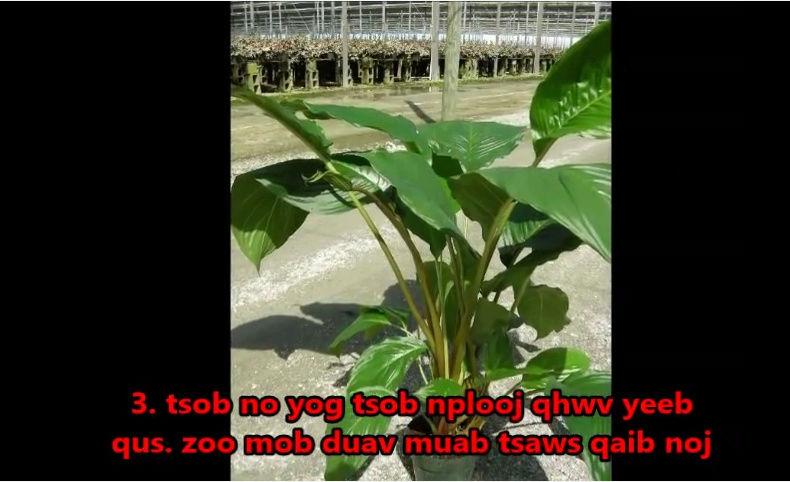 Tshuaj NTSUAB - Page 4 20710